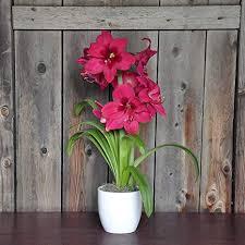 potted amaryllis bulbs gift pink amaryllis vera in a clic white ceramic vase