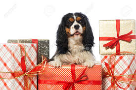 cavalier king charles spaniel with gifts stock photo 24720284
