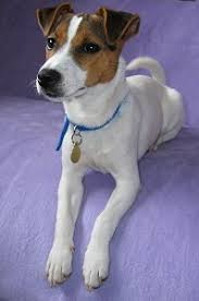 jack russell terrier mixed breeds. Parson Jack Russell Terrier Dog Breed To Mixed Breeds