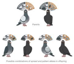 Roller Pigeon Color Chart Pin On Pigeon Color Genetics