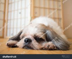 Lazy Dog Cute Shih Tzu Dog Stock Photo ...