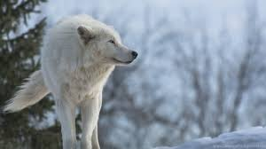 white wolf wallpaper.  Wolf Netbook  For White Wolf Wallpaper F