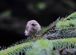 hva heter norges minste fugl