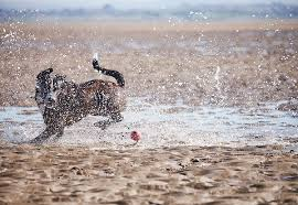 Image result for boxador running