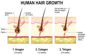 ihelmet laser hair regrowth papilla