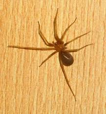 Spider Identification Chart California Facts About Banana Or Golden Orb Spiders Owlcation