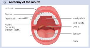 gastrointestinal tract 1 the mouth and