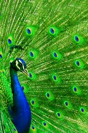 peacock wallpaper for mobile. Perfect Peacock Peacock Iphone Wallpaper For Wallpaper Mobile L