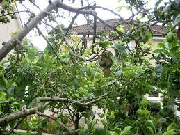 Plum Tree Not Fruiting Part  21 My Edible Fruit Trees Plum Trees Plum Tree Not Producing Fruit