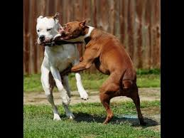 pitbull dog fights caught on tape. Perfect Fights Vicious Dog Fight Caught On Camera Throughout Pitbull Dog Fights Caught On Tape YouTube