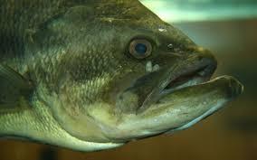 Types Of Bass Fish Chart Largemouth Bass Wikipedia