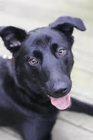 black lab german shepherd puppies.  Puppies Blackgermansheprador_2 With Black Lab German Shepherd Puppies