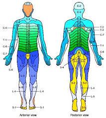 Myotome And Dermatome Chart Google Search Massage