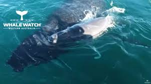 Video Shows Humpback Whale Defending Her Calf In Intense 40-Minute ...