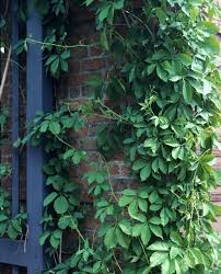 Plants For Under TreesRHS GardeningClimbing Plants That Like Shade