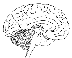 Find this pin and more on art tx & play with kids by susan eastman. Anatomy Of Brain Coloring Sheet Brain Anatomy Brain Diagram Human Brain