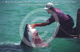 pictures of great white sharks eating people.  Pictures For Pictures Of Great White Sharks Eating People T