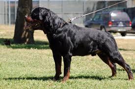 rottweiler dog attacks. man vs dog no weapons rottweiler attacks