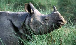 greater one horned rhino species wwf greater one horned rhino