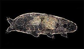 tardigrade actual size tardigrades