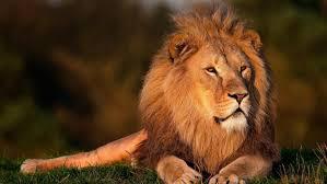 Free Images - SnappyGoat.com- bestof:lion lion king forest king lion