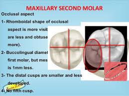 Maxillary Second Molar Permanent Maxillary Molars