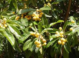 Mysterious Tropical Fruits U2026in Southern California  Random Southern California Fruit Trees