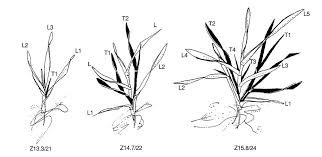Wheat Growth Chart Zadoks Growth Scale Agriculture And Food