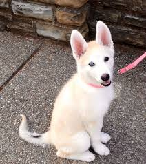 white husky german shepherd mix puppies. Perfect Husky White Gerberian Shepsky Puppy Shepsky German Shepherd  Husky Mix Puppies For 101DogBreedscom