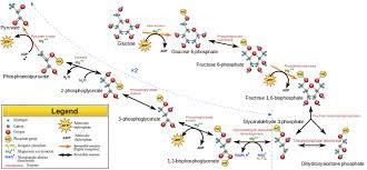 Glycolysis Flow Chart Image Biochemistry Biology Science