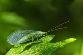 beneficial bugs as pest control