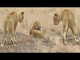 <b>Leopard</b> Walks Right into a Lion - YouTube