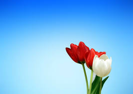 Spring Powerpoint Background Aesthetics Red White Tulips Spring Free Ppt Backgrounds For