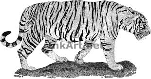 chinese tiger drawing. Exellent Tiger South China Tiger Fine Art Print Inside Chinese Drawing T