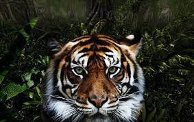 Jungle Tiger wallpapers