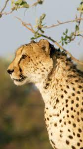 Cheetah wallpaper, Animal wallpaper ...