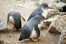 essay on penguins essay on penguins antarctic wildlife photo essay antarctic essay on penguins antarctic wildlife photo essay antarctic