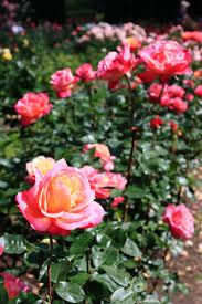 portland s international rose garden