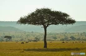 アカシア の 木