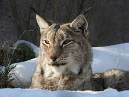 lynx size siberian lynx utahs hogle zoo