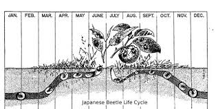 japanese beetles life cycle japanese beetles