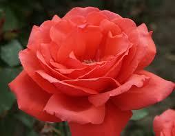 Rose U0027Graham Thomasu0027 AusmasFragrant Rose Plants