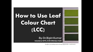 How To Use Leaf Colour Chart Lcc In Wheat