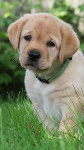 Cute labrador puppies, Baby dogs ...