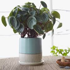 this is another of our favorites at the sill because of its rounded fleshy leaves with silver and dark green stripes that resemble the outside of a