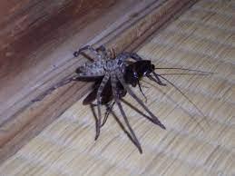 ゴキブリ 食べる クモ