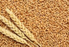 EU wheat exports down 19% YOY: EC