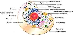 Cell Structure Chart Cell Structure And Functions With Diagram