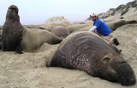 elephant seal compared to human. carbon monoxide, a potential new treatment for human diseases, found in elephant seals at levels on par with chronic cigarette smokers seal compared to uc san diego news center