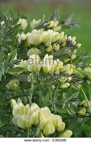 cream wild indigo in wisconsin jim lutes usfws stock image